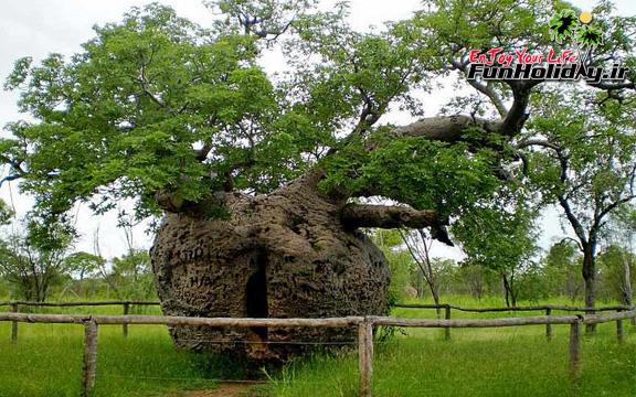 درخت زندان ، جاذبه 1500 ساله استرالیا